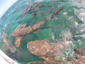 Nurse Shark Feeding Frenzy at Shark Ray Alley